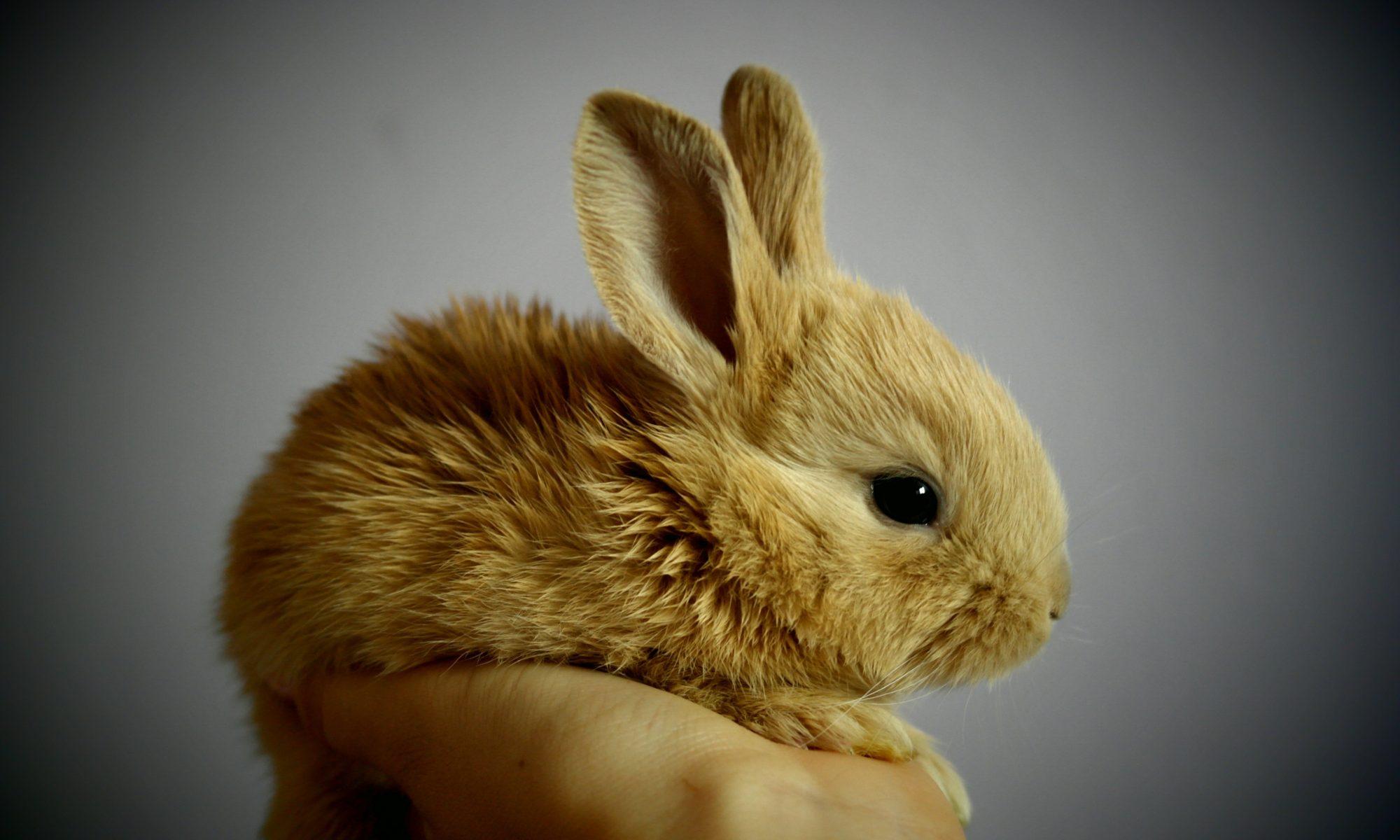 królik miniaturowy